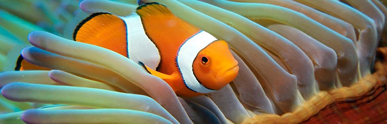 Nemo Great Barrier Reef